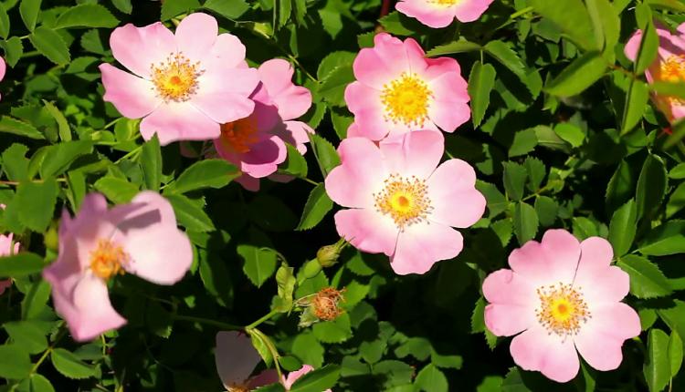 خواص گل نسترن در طب سنتی